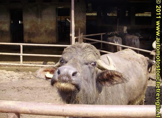 2011 – Giornata della Bufala